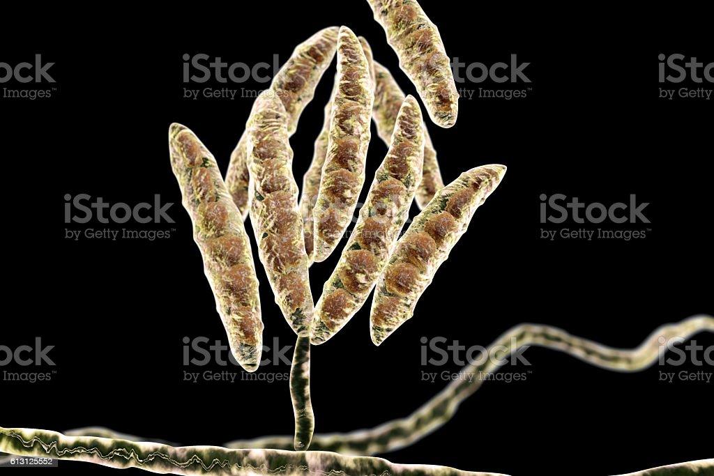Fungi Fusarium which produce mycotoxins stock photo