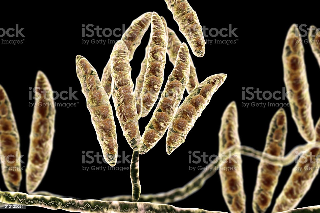 Fungi Fusarium which produce mycotoxins stock photo