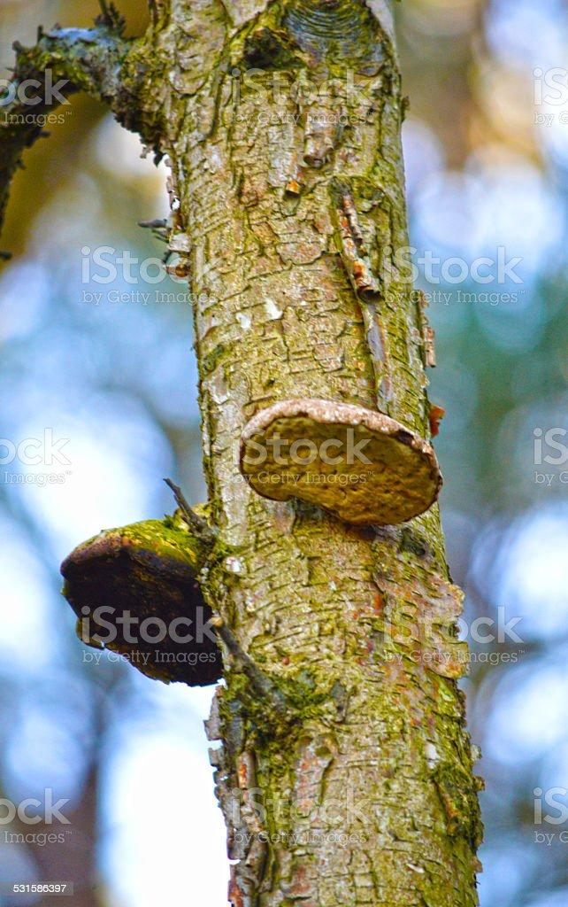 Champignons une croissance d'un arbre photo libre de droits