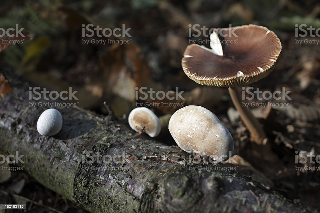 Fungi in autumn royalty-free stock photo