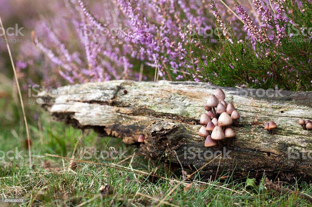 Fungi in Heatland stock photo