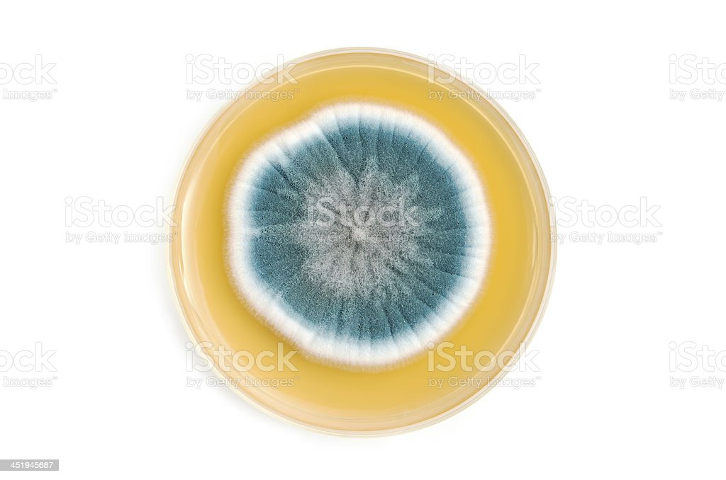 fungi on agar plate over white background stock photo