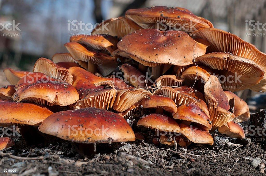 fungi Sulphur Tuft (Hypholoma fasciculare) on a stump stock photo