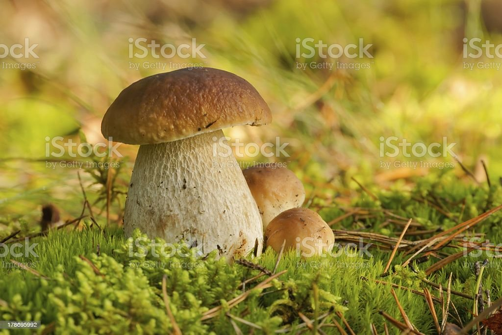 Fungus Bolete, mushrooms in the wild royalty-free stock photo