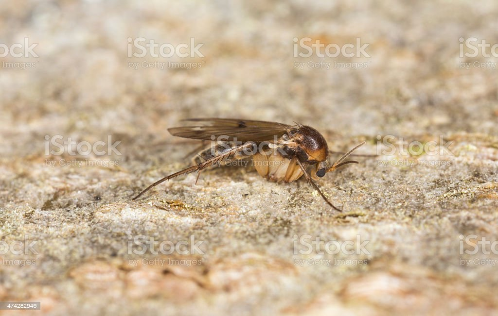 Fungus gnat, Mycetophilidae fly on wood stock photo