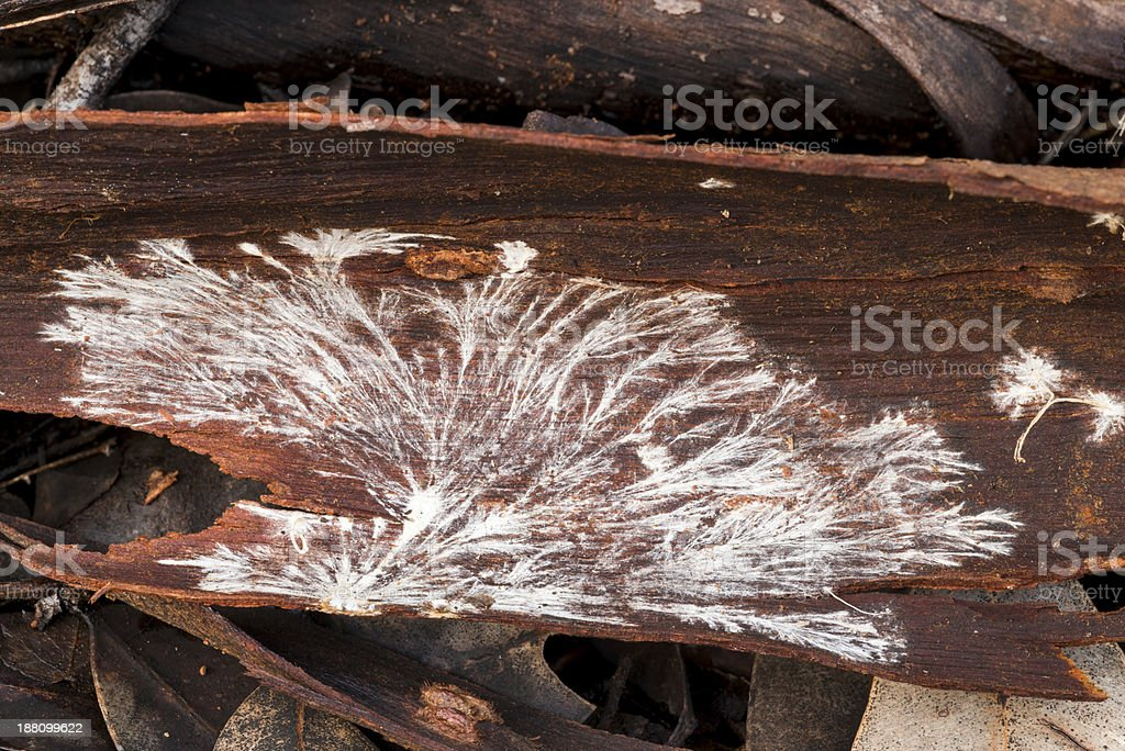 Fungus mycelium on bark stock photo
