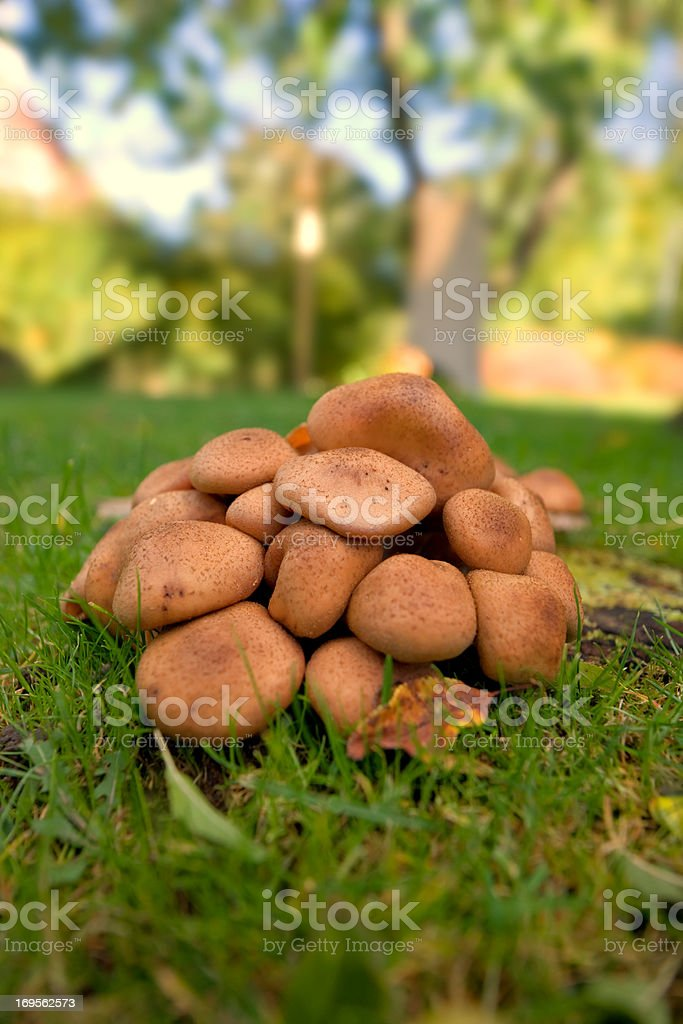 Fungus on a green lawn royalty-free stock photo