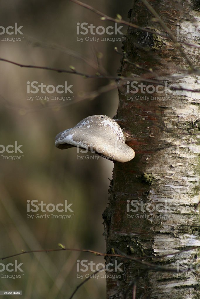 Fungus on birch tree stem stock photo