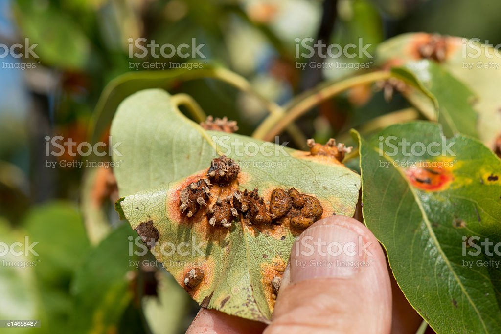Fungus on the pear tree leaf stock photo
