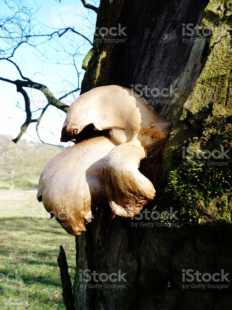 fungus on the side of a tree with moss stock photo