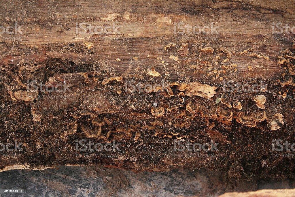 Funghi in legno. foto stock royalty-free