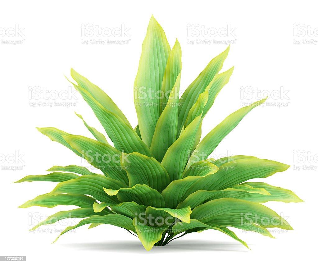 funkia bush isolated on white background stock photo