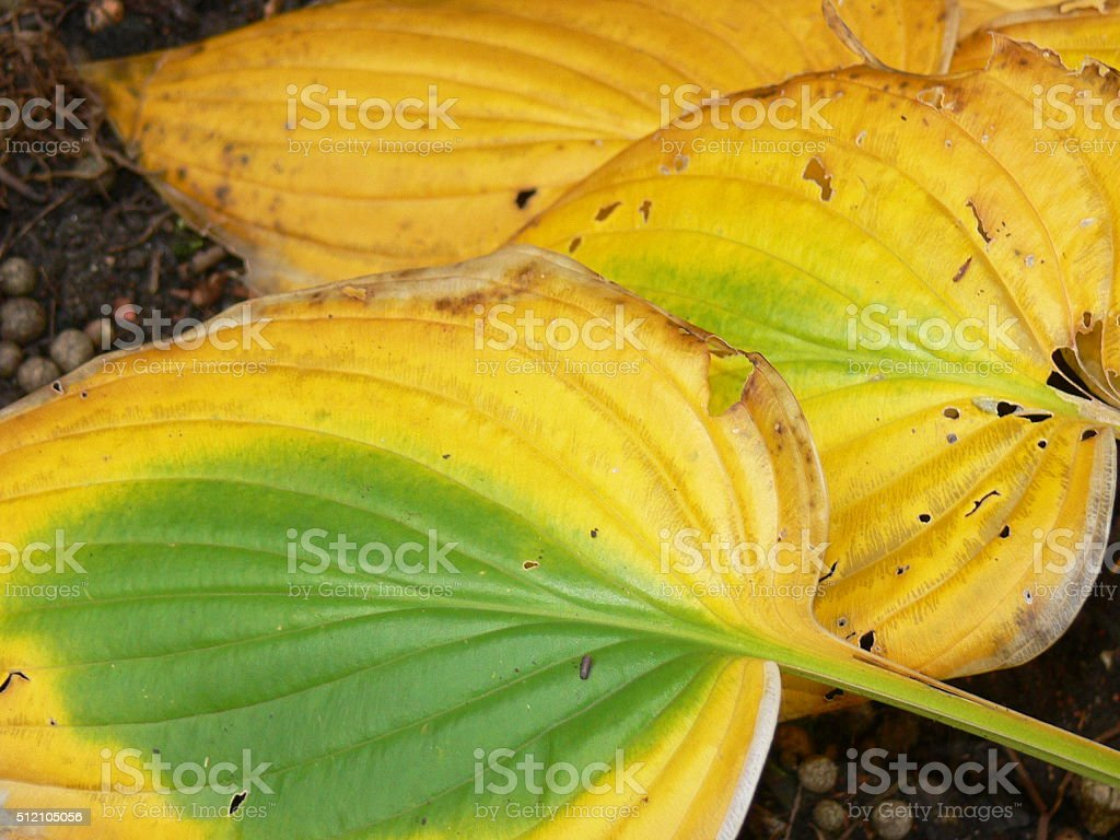 Funkien im Herbst 4 stock photo