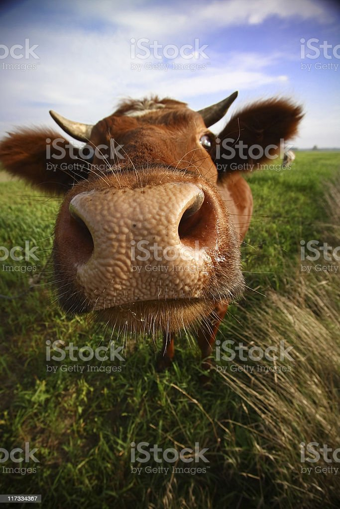 funky cow stock photo