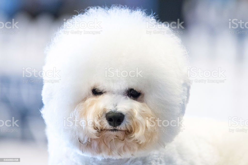 Funky Poodle white dog portrait looking at you stock photo