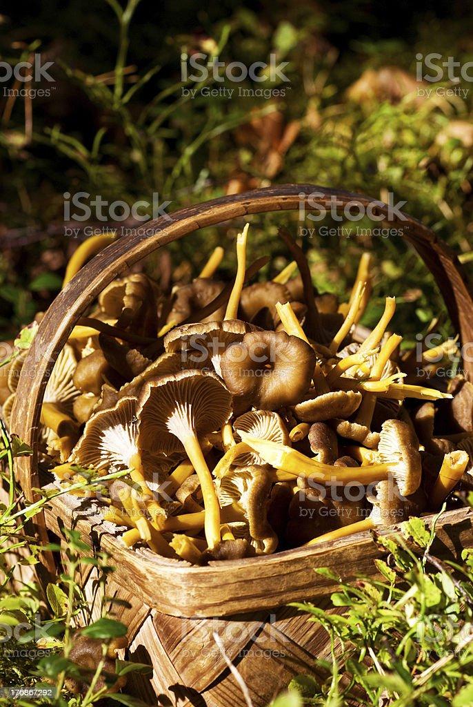 Funnel chanterelle mushroom (chantharellus tubaeformis) stock photo