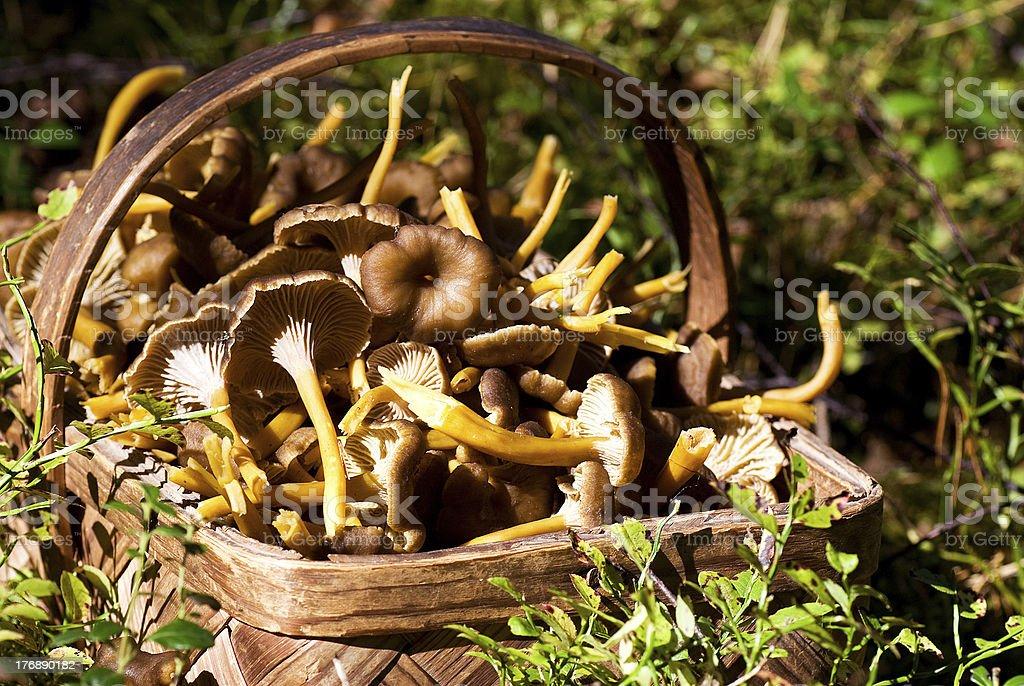 Funnel chanterelle stock photo