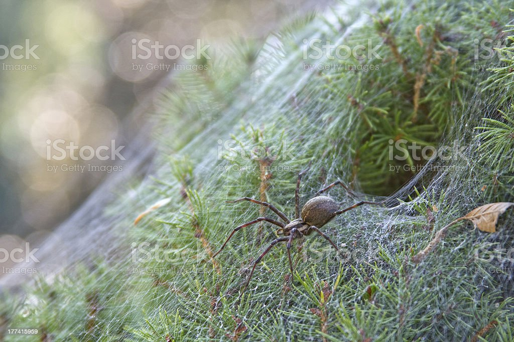 Funnel Spider and Web stock photo