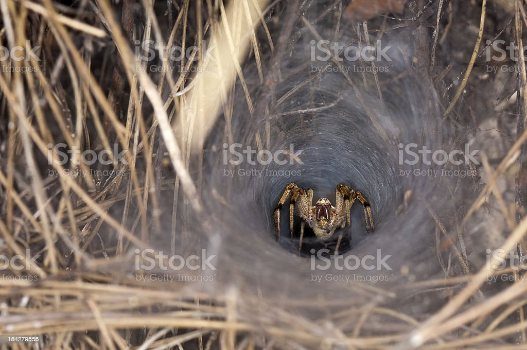 Funnel Spider stock photo