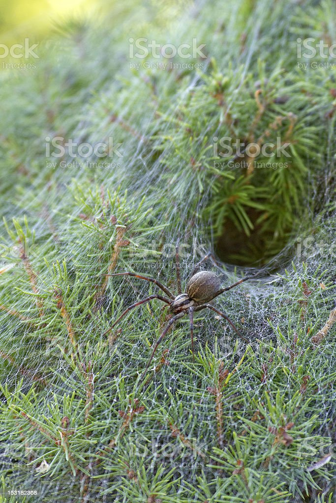 Funnel Weaver Spider By Its Burrow royalty-free stock photo