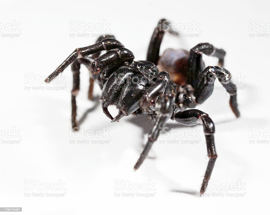funnel web spider royalty-free stock photo