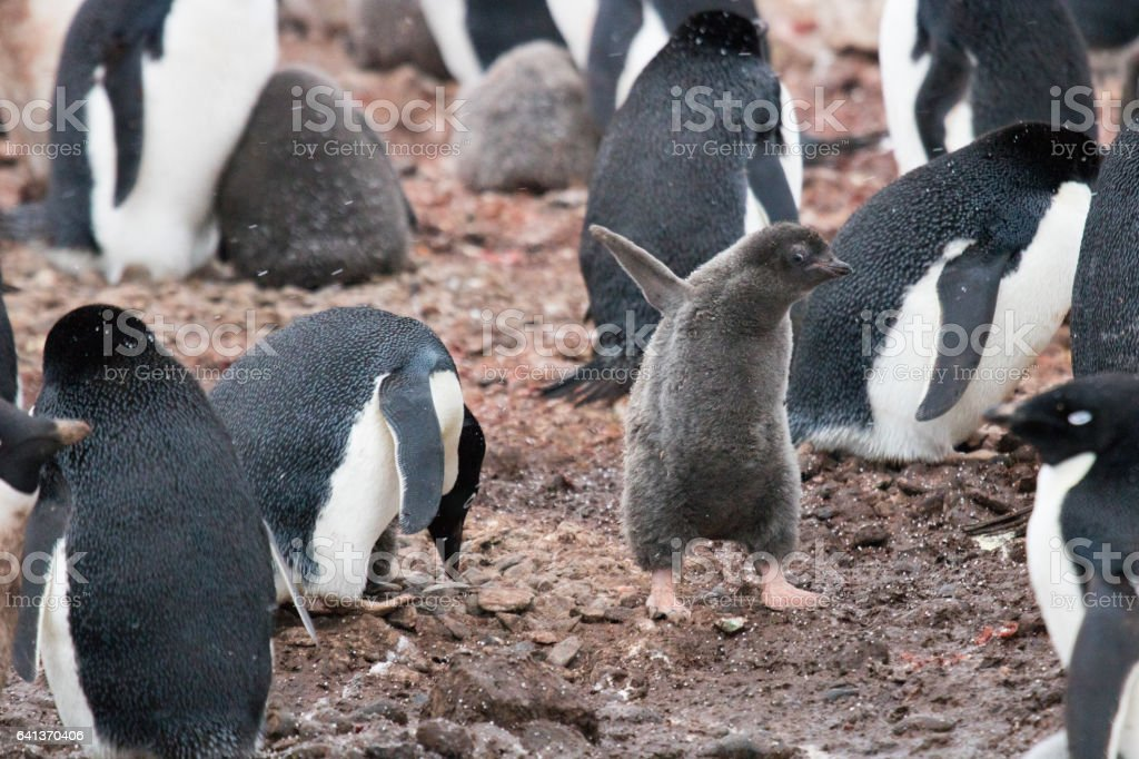 Funny Adelie penguin chick stock photo