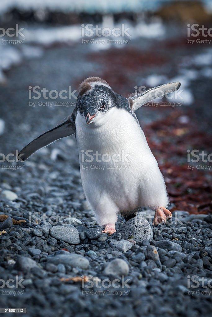 Funny adelie penguin chick running on shingle stock photo