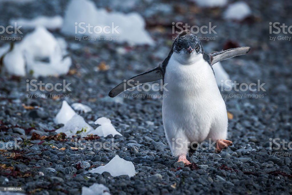 Funny adelie penguin chick running on stones stock photo