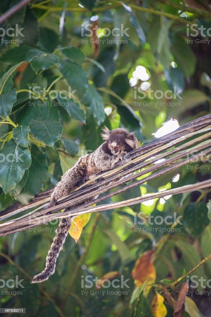 Funny and strange monkey from Brazil island Ilha Grande stock photo