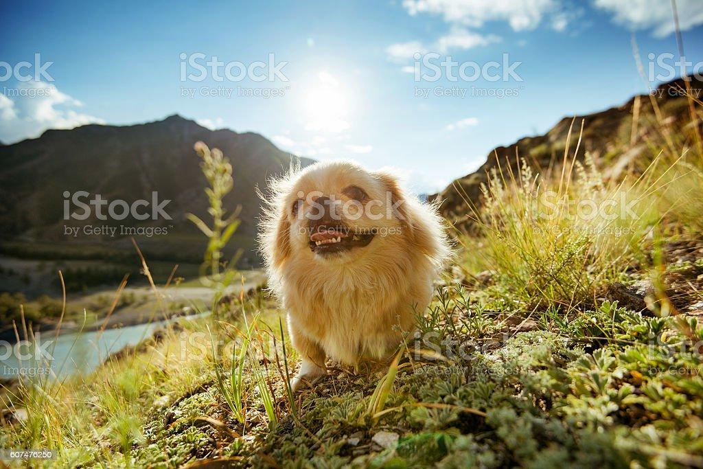 Funny animal dog pekingese mountains stock photo