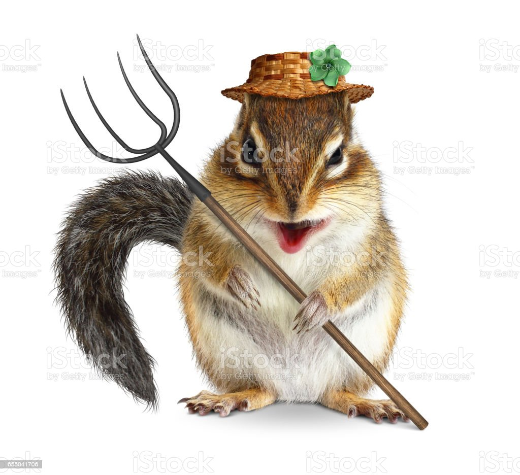 Funny animal farmer, squirrel with hay fork, isolated on white stock photo