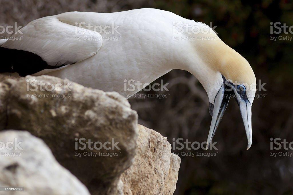 Funny Australasian Gannet with beak wide open royalty-free stock photo