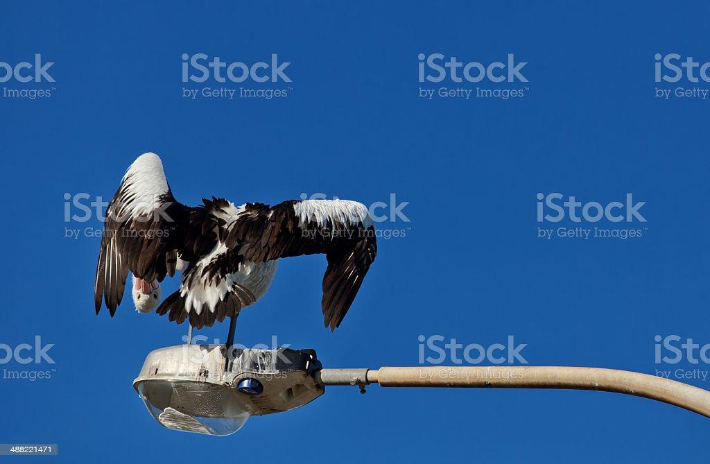 Funny Australian Pelican stock photo