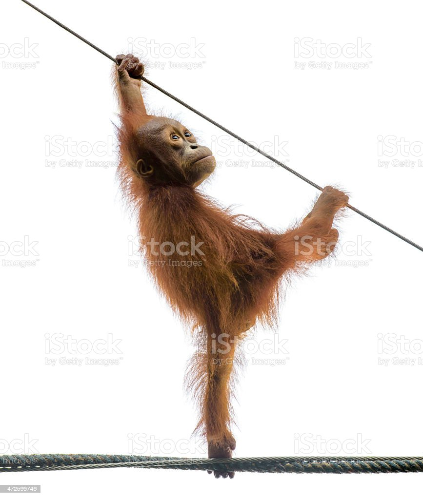 Funny baby orangutan standing on a rope, isolated on white stock photo