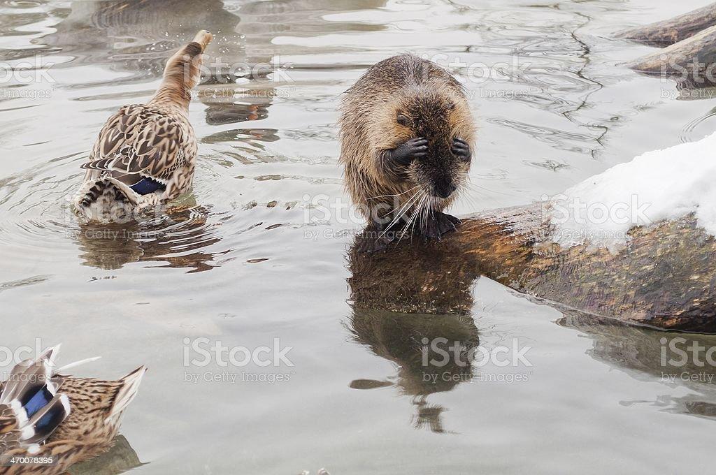 Śmieszna beaver zbiór zdjęć royalty-free