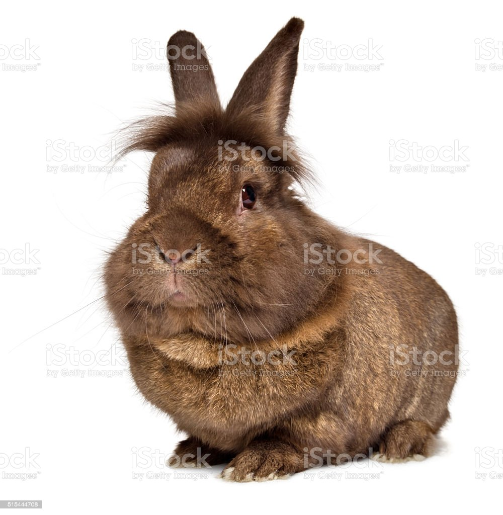 Funny big head chocolate colored lionhead rabbit stock photo