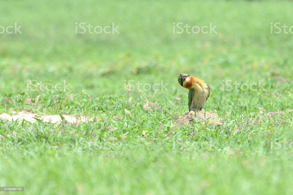 Funny bird. Blue-tailed Bee-eater looking up at the sky royalty-free stock photo