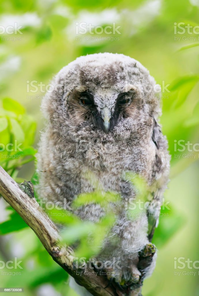 funny bird owl with fluffy feathers among the green foliage stock photo