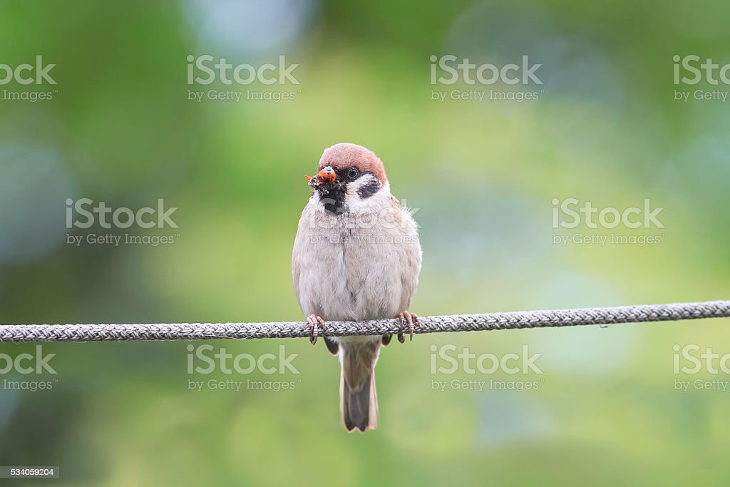 funny bird Sparrow sitting on the rope stock photo