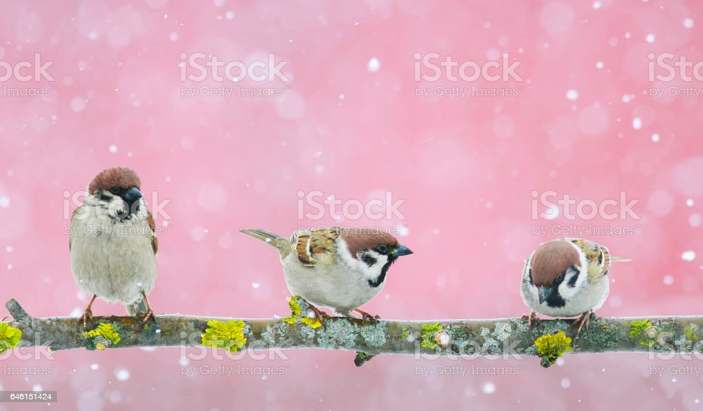 funny  birds sparrows sitting on the branch during a snowfall stock photo