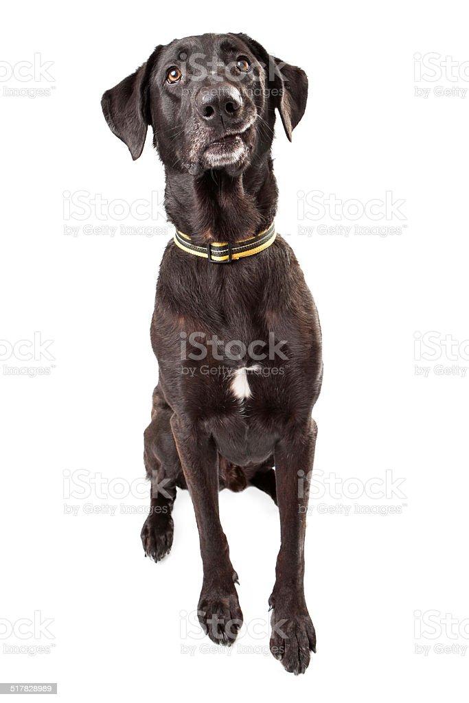 Funny Black Labrador stock photo