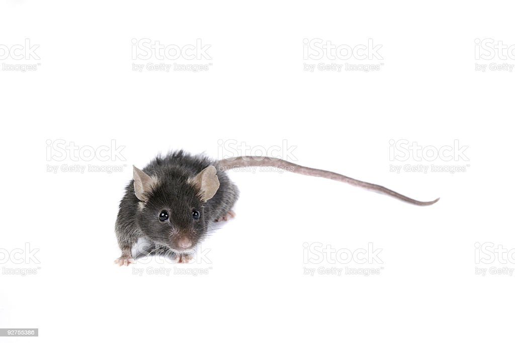 Funny black mouse. stock photo