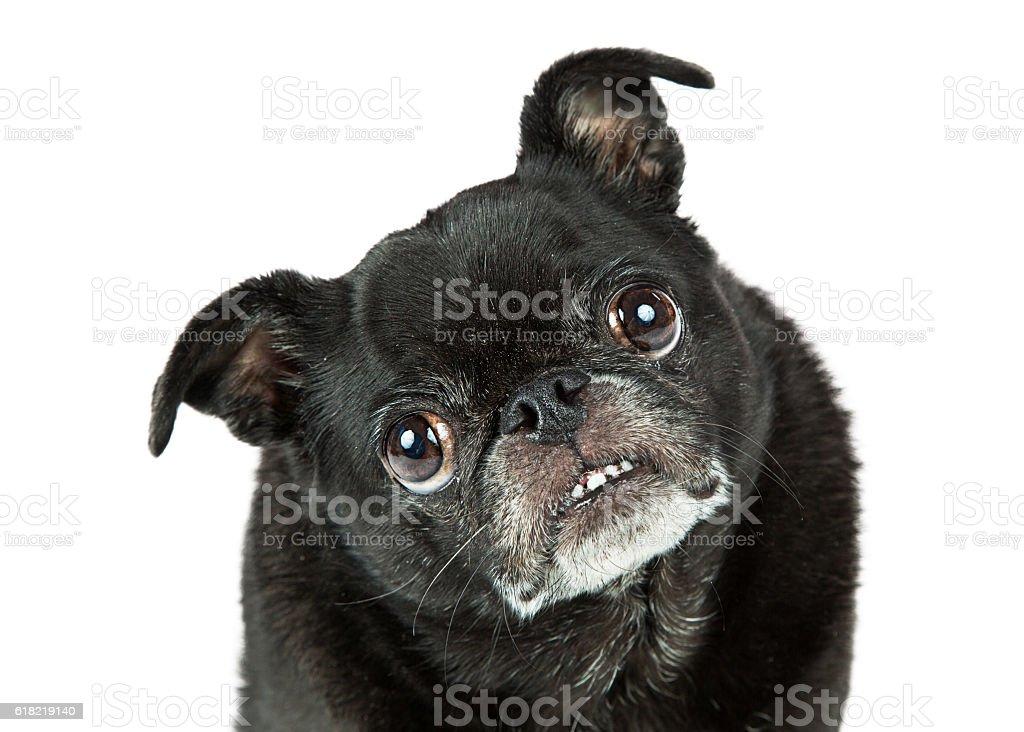 Funny Black Pug Tilting Head Closeup stock photo