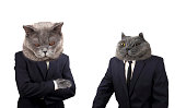 Funny boss cat is scolding employee
