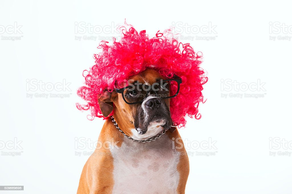 Funny boxer dog stock photo