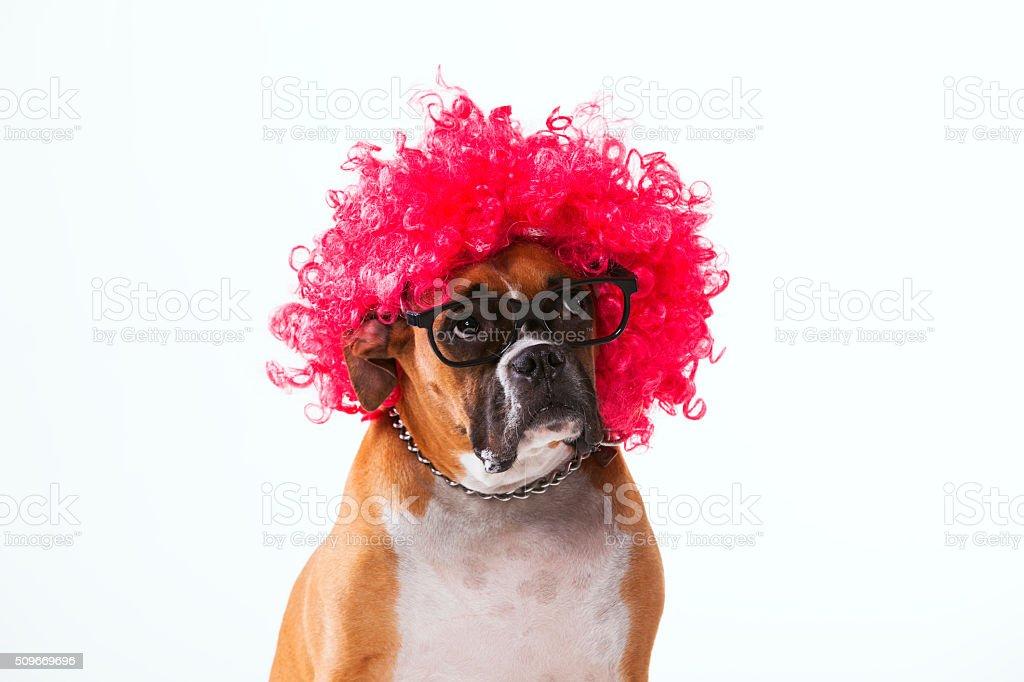 Funny boxer dog stock photo