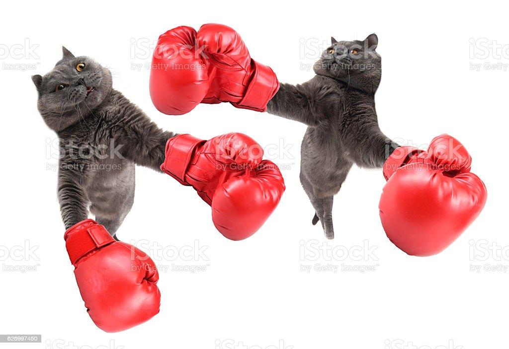 Funny boxing cats stock photo