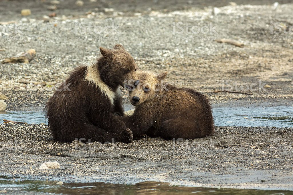Funny brown bear cubs on the shore of Kurile Lake. stock photo