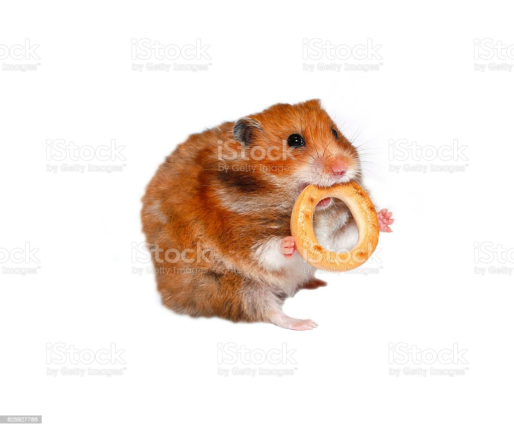 Funny brown hamster with a round bagel stock photo