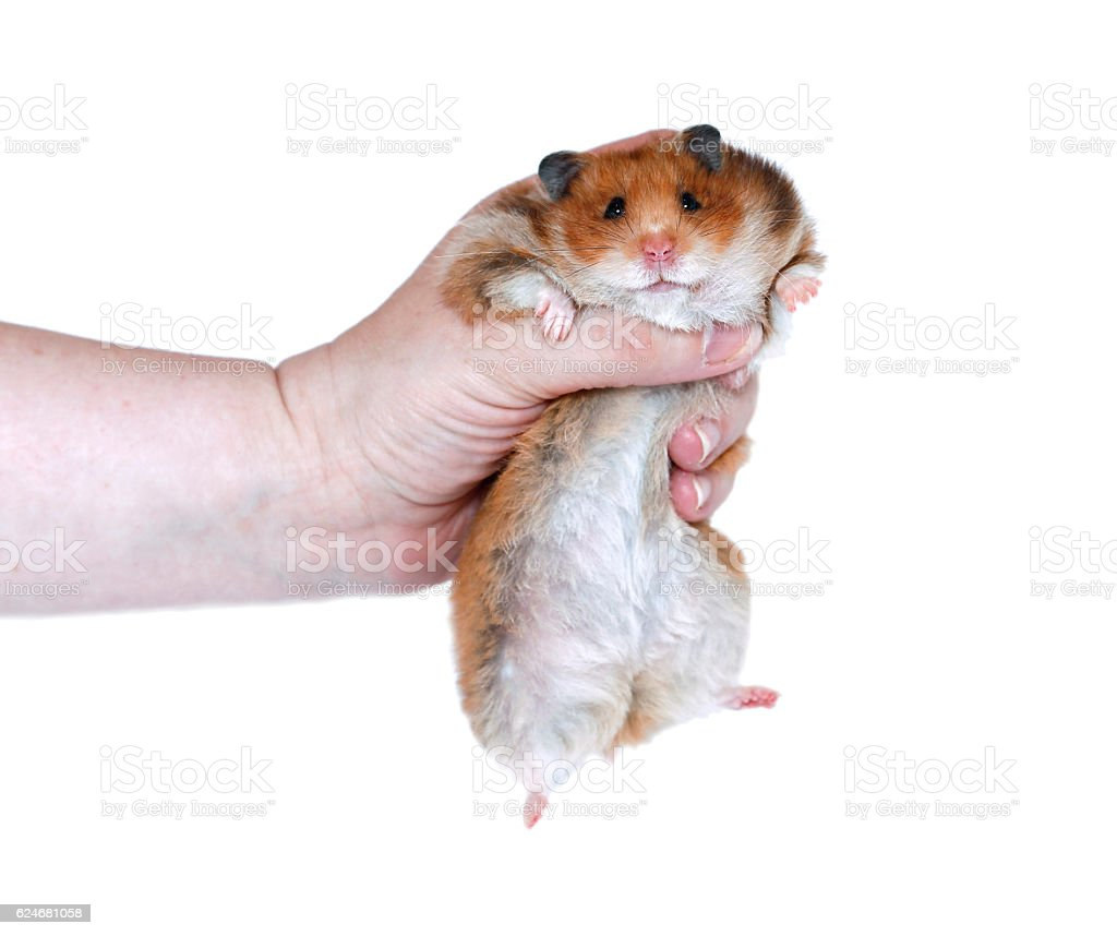 Funny Brown Syrian hamster in a female hand isolated stock photo